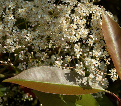 October Flowers: Photinia Flowers