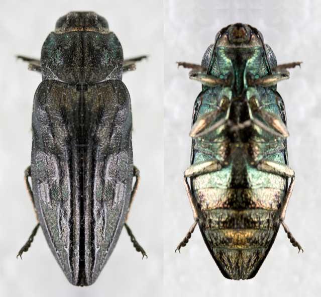 long horned wood boring beetles coleoptera cerambycidae and disteniidae pdf
