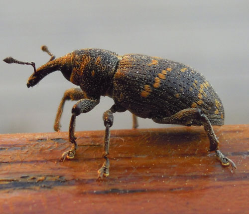 How to Get Rid of Weevils