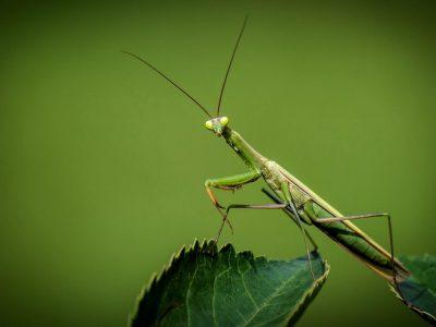 Praying Mantis Fact's Thumbnail