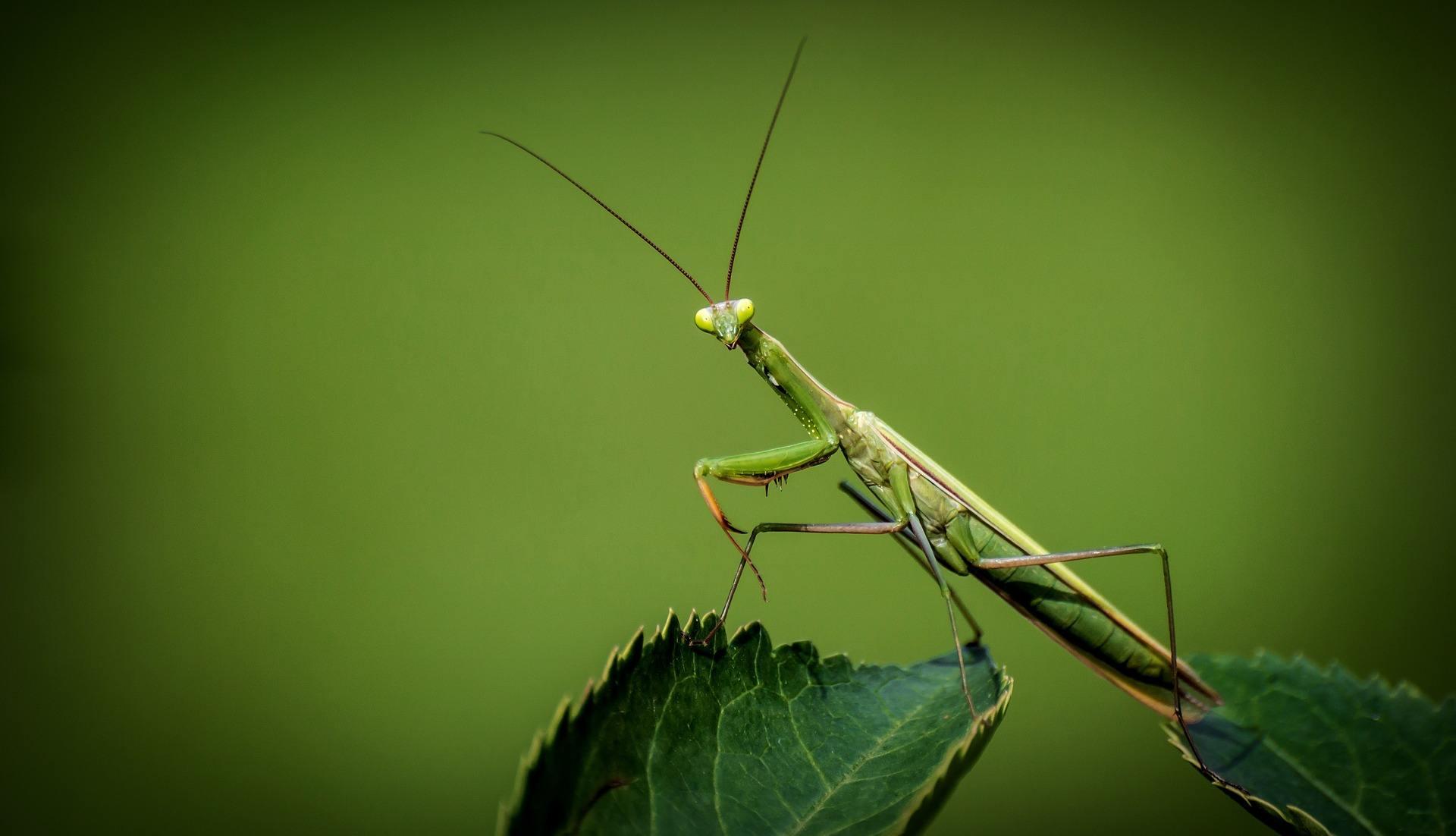 Praying Mantis Fact Thumbnail