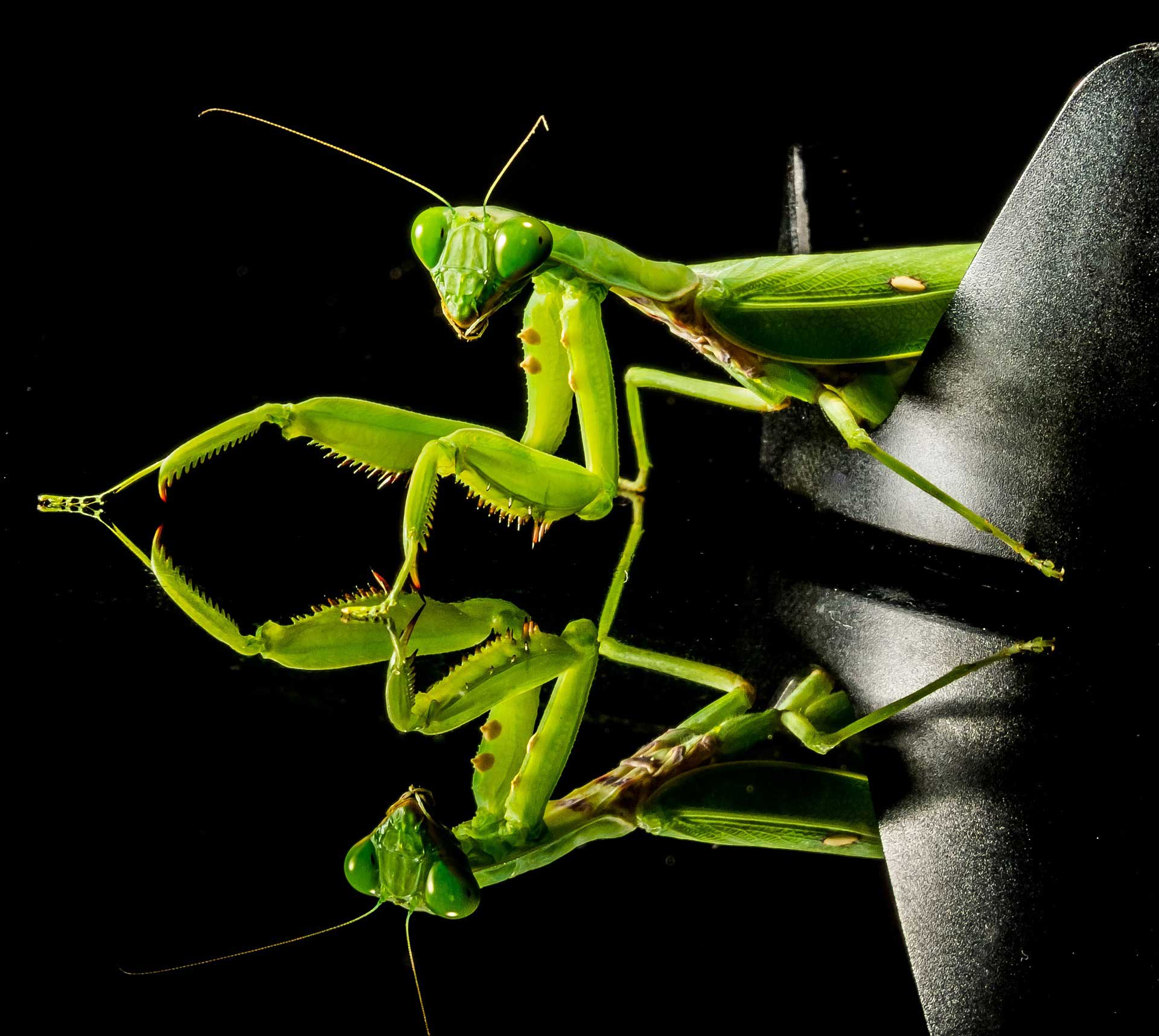 Learn About Nature | Praying Mantis Fact - In Spite of Female ...