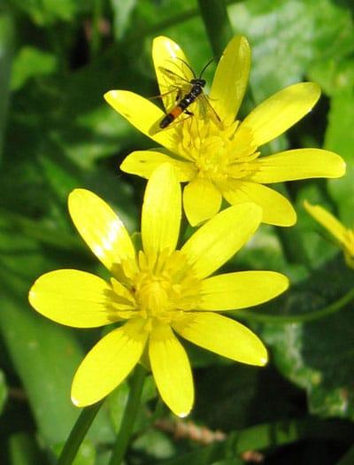 May Flowers: Ranunculus