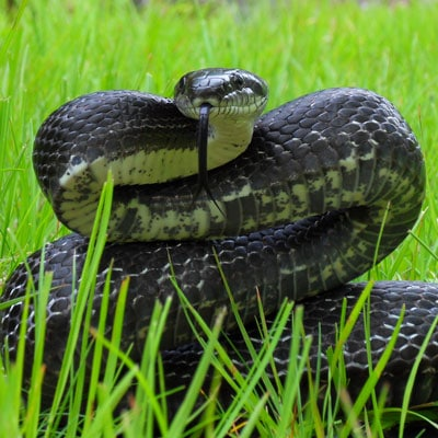 Detailed Article about Rat Snake