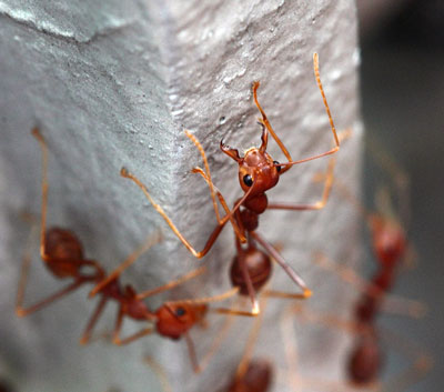 Detailed Article about Red Ants