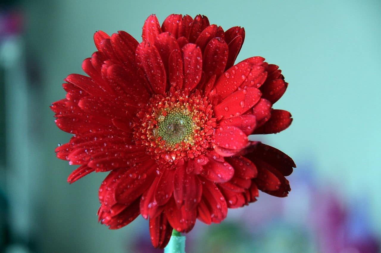 Learn about nature gerbera daisies symbolizing innocence purity gerbera daisies symbolizing innocence purity and optimism thumbnail izmirmasajfo