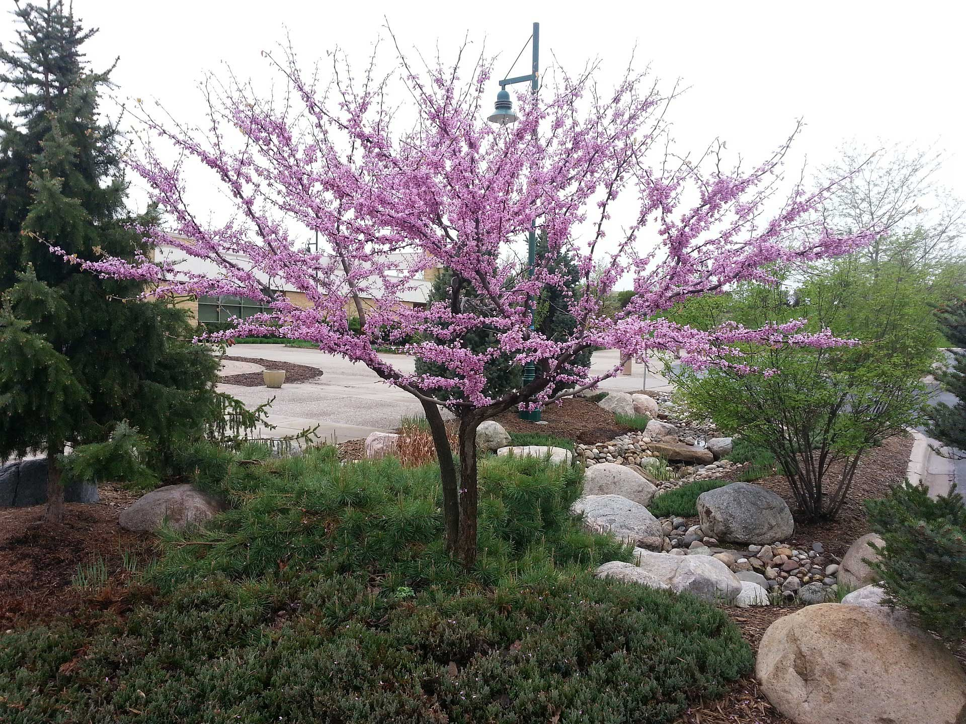 Redbud Tree Learn About Nature