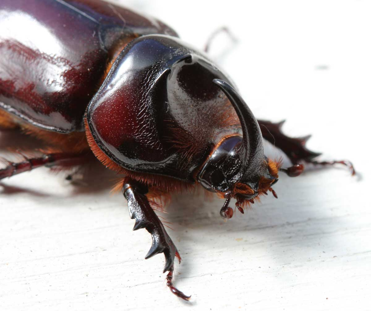 Rhinoceros Beetle - Learn About Nature