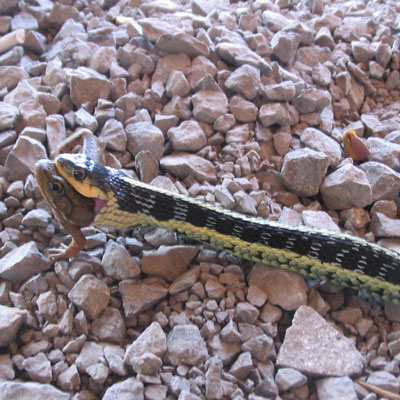 Detailed Article about Ribbon Snake