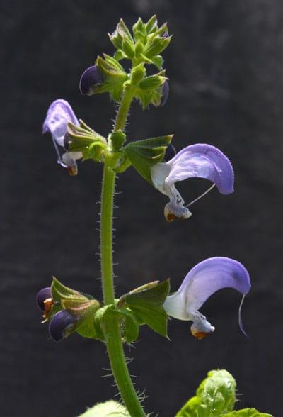 July Flowers: Salvia