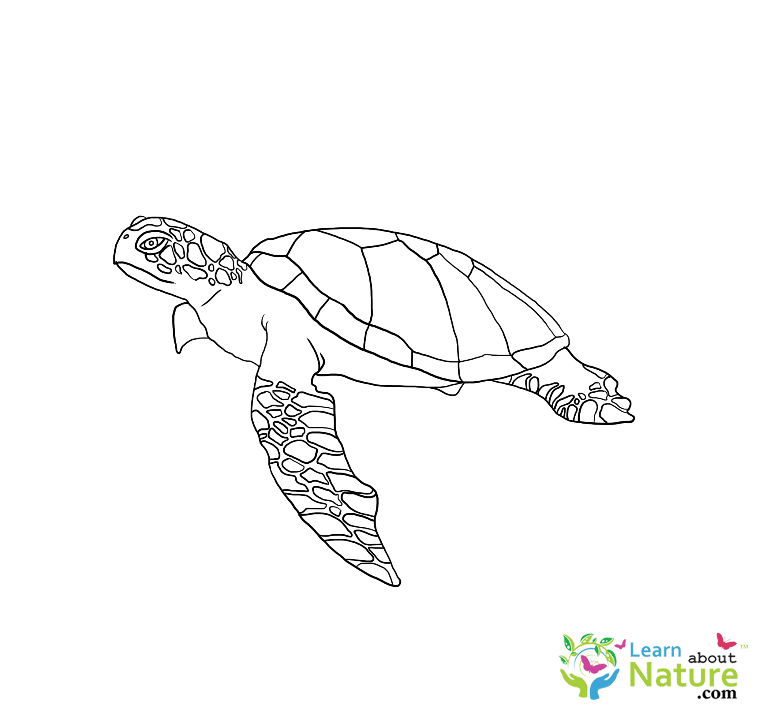 Printable Sea Turtle Coloring Pages For Kids | 2346x2480