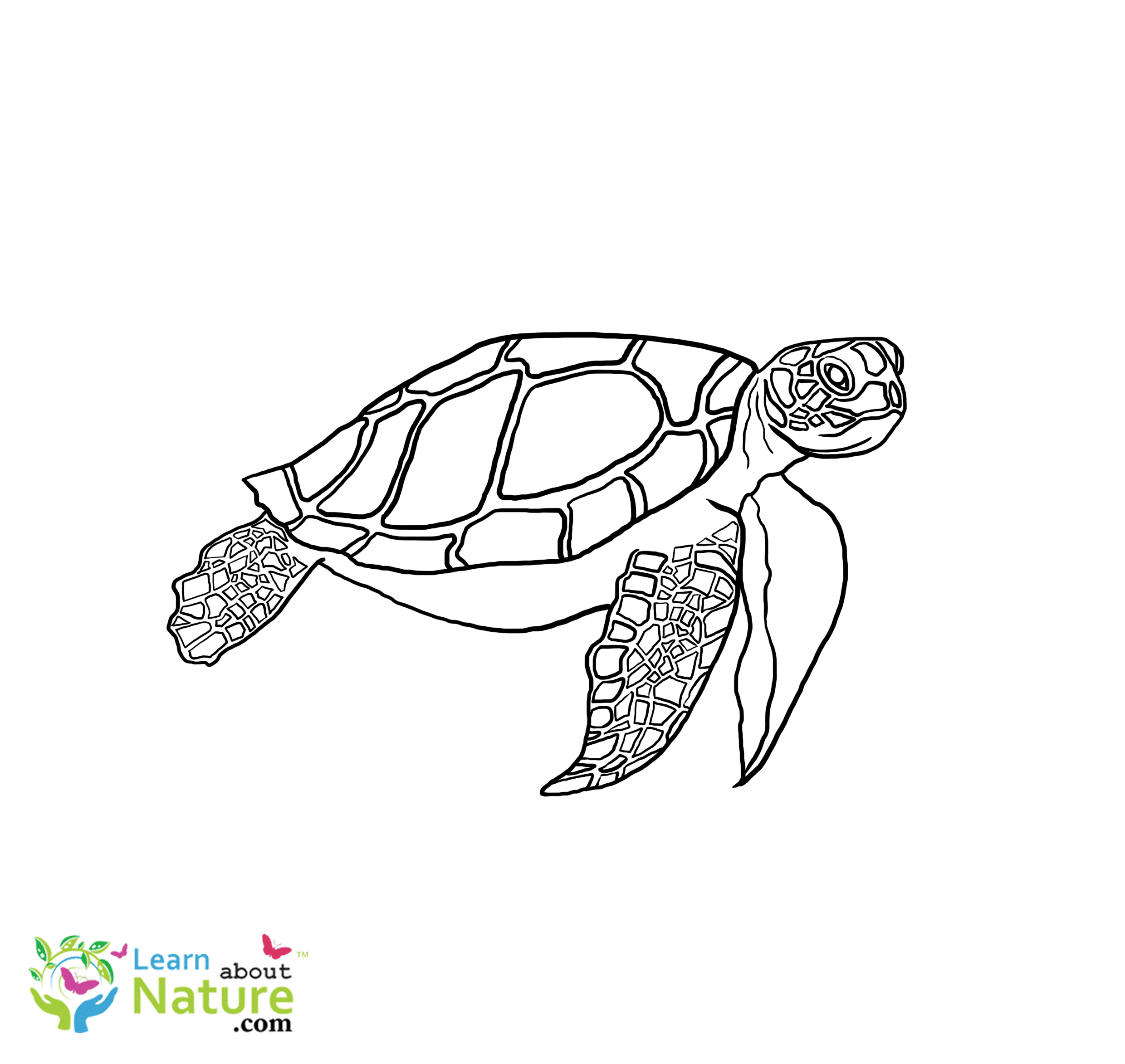 Three Sea Turtles Coloring Page – Mermaid Coloring Pages | 2346x2480