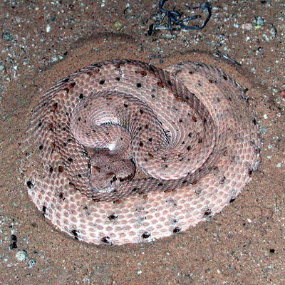 Detailed Article about Sidewinder Snake