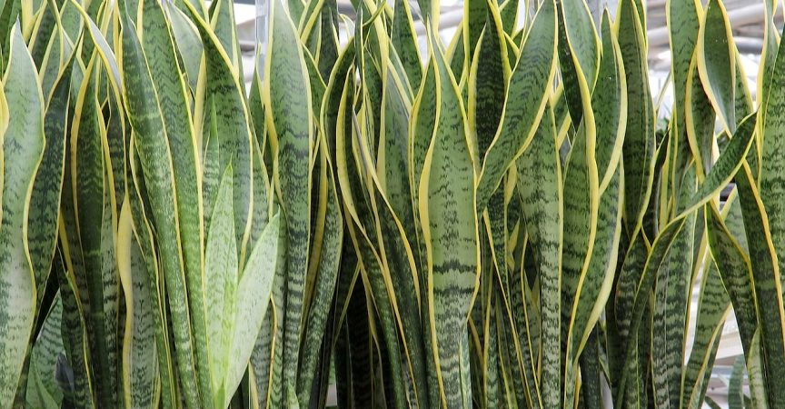 Snake Plant - Learn About Nature