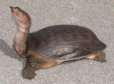 Softshell Turtles