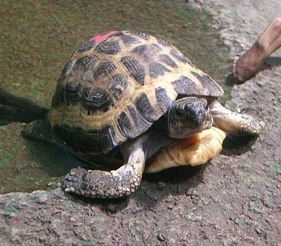 Spider Tortoises