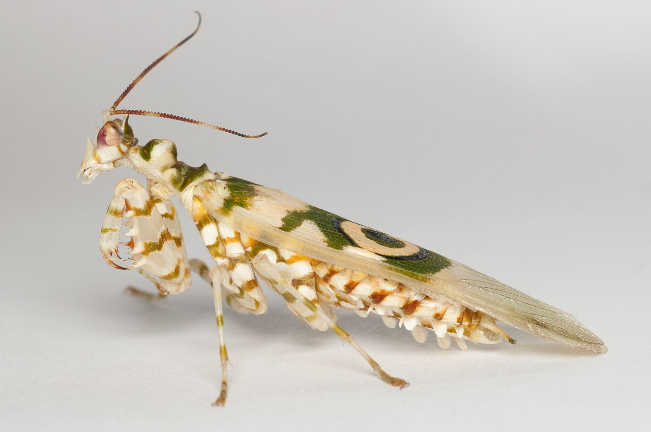 Learn about Nature | Spiny Flower Mantis Care Sheet