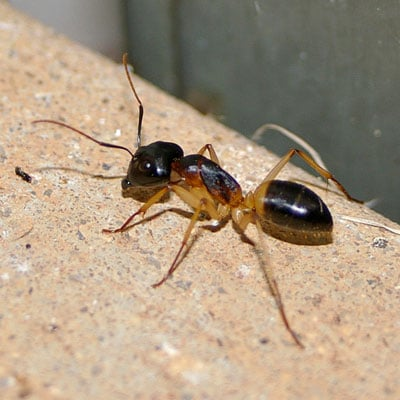 Detailed Article about Sugar Ants / Odorous House Ants
