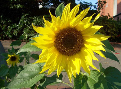 July Flowers: Sunflowers