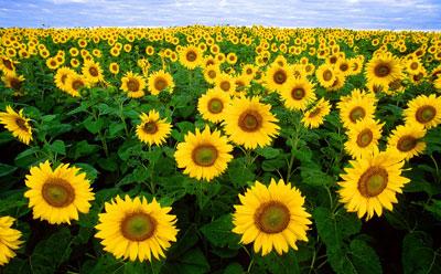 July Flowers: Sunflowers