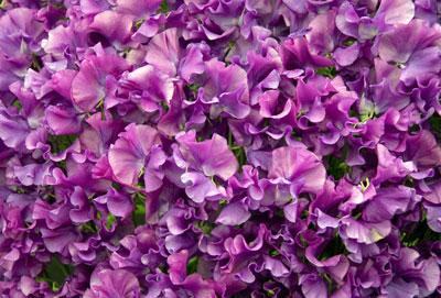 March Flowers: Sweet Pea Flowers