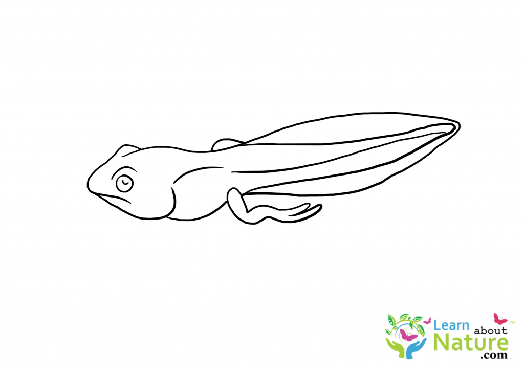 Tadpole Coloring Page 1 Learn About Nature