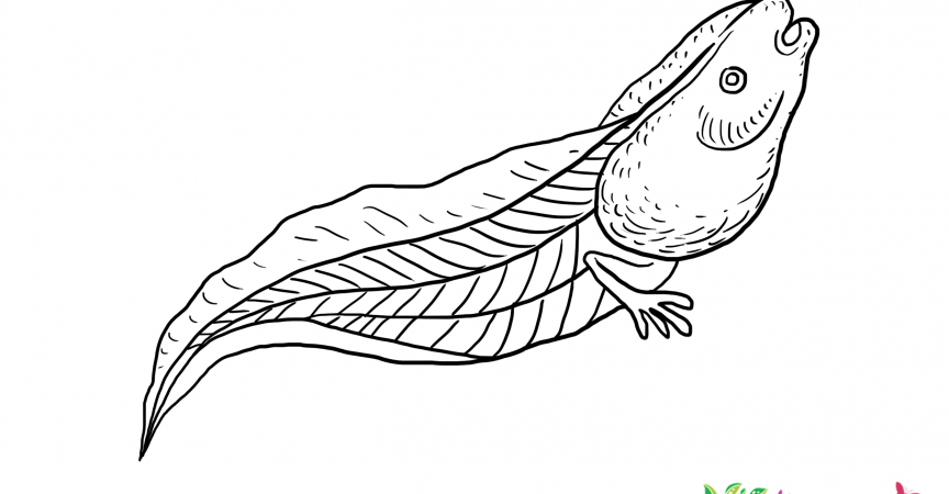 Tadpole Coloring Page Learn About Nature