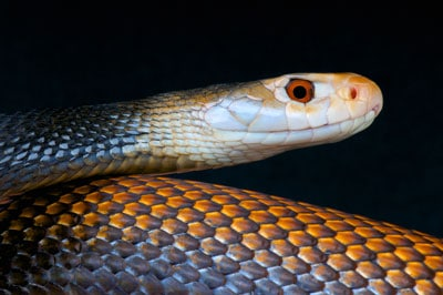 Detailed Article about Taipan Snake