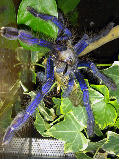Blue Tarantula Eating Desert Locust