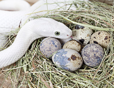 Detailed Article about Texas Rat Snake
