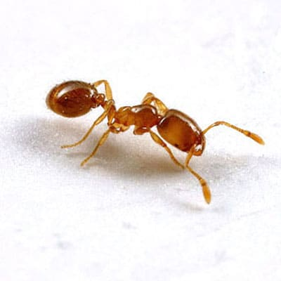 Detailed Article about Thief Ants