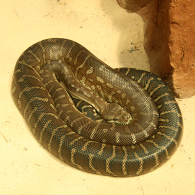 Detailed Article about Tiger Snake