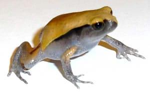 Baby Tomato Frog Walking