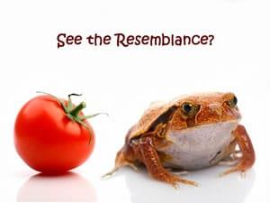 Adult Tomato Frog