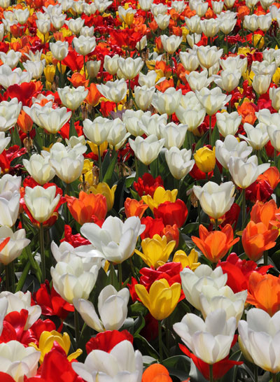 March Flowers: Tulips