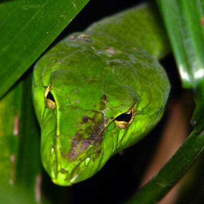 Detailed Article about Vine Snake