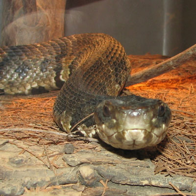 Detailed Article about Water Moccasin Snake