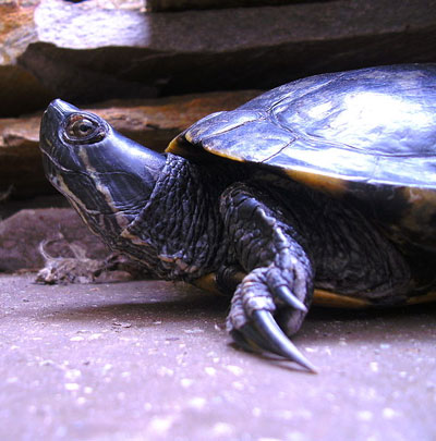 Water Turtles Or Aquatic Turtles Learn About Nature