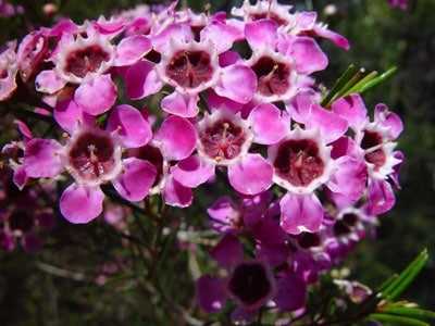 April Flowers: Wax Flower