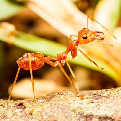 Detailed Article about Weaver Ants Biology