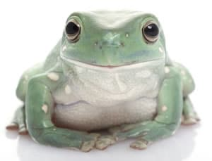 Complete Whites Tree Frog Care Sheet with color pictures and lots of White's frog facts. Great pet frog for beginners.