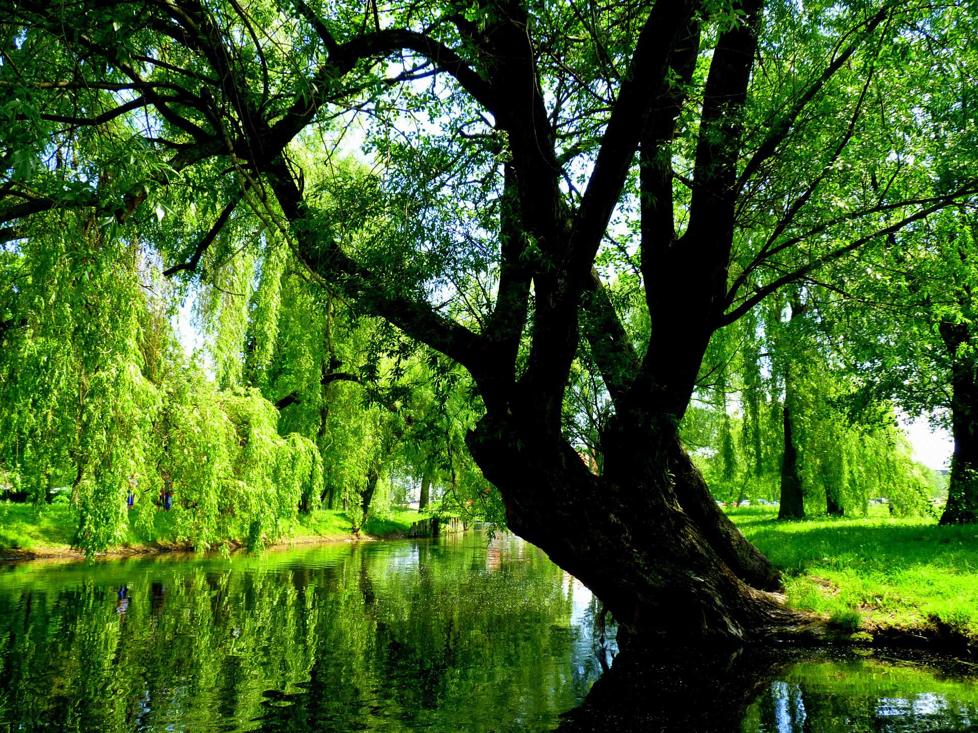 willow tree trees water nature witching bark found species learn plants poland common
