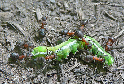 Detailed Article about Wood Ants