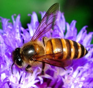 Worker Bee. Photo by: William Cho