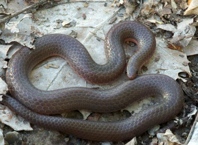 Detailed Article about Worm Snake