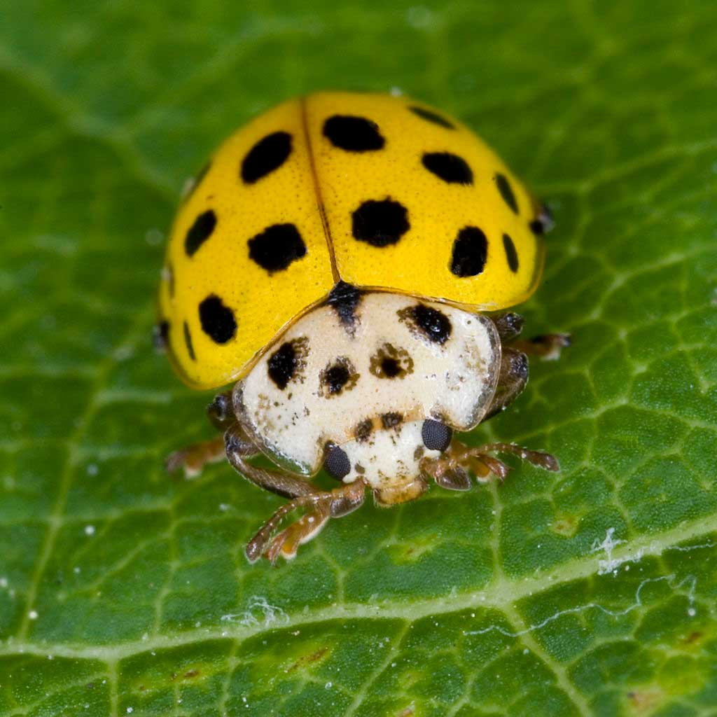 learn about nature yellow ladybug learn about nature