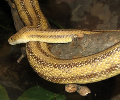 Detailed Article about Yellow Rat Snake