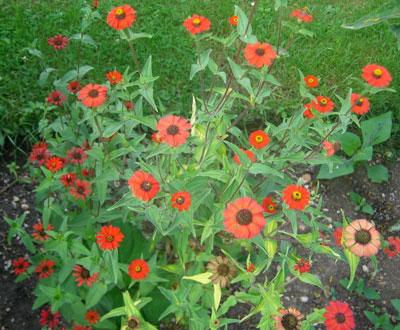 August Flowers: Zinnia